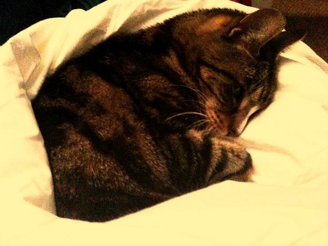 This kitty cozies up in a warm down comforter.